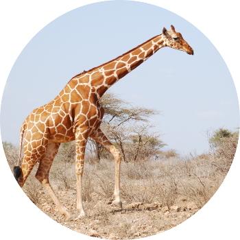 Wildbook for Giraffe